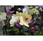 Geschenkkassette Weißer Pfeffer - Rosa Blume